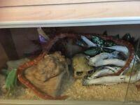 Corn snake with full setup