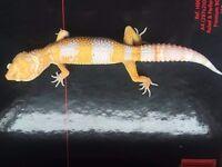 Yellow Pastel Tremper het Eclipse Leopard Gecko