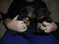 longhaired minature dachshunds