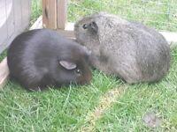 Guinea pig plus hutch