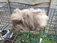 Lovely baby girl Guinea pig for sale