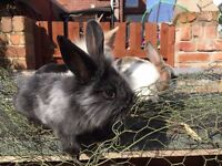 2 Black 2 white Bunnies ready for a home.