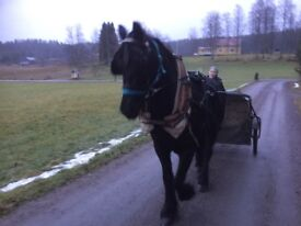 Scandinavian carriage driving training for horses
