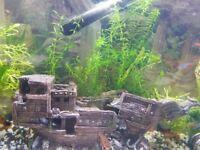 Elodea densa aquarium plants
