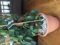 Madagascar Jasmine big plant