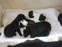 Sprocker spaniel pupies