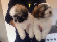 2 beautiful shih Zuh boys
