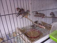 Zebra Finches for Sale - 7 pairs of Zebra Finches.