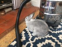 5 month old very fun dwarf rabbit for sale