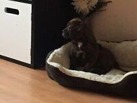 14 week old minibulldog puppy