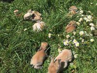 Baby bunnie, netherland dwarf