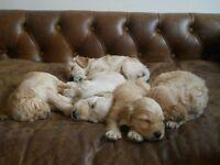 Gorgeous F1 cockerpoo puppies.