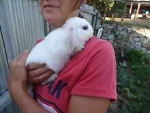 For sale - Mini Lop Rabbits Kingston Kingborough Area Preview