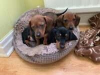 Miniature chocolate dachshunds