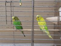 Young and beautiful budgies for sale - with cage