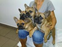 french bulldog puppies last one left