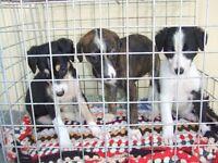 Lurcher puppies for sale - Greyhound/Wippet/Suluki