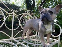 Lilac fawn french bulldog girl