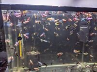 FEMALE FIGHTER FISH FOR SALE IN CARDIFF