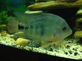 American cichlid fish for sale