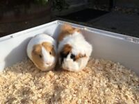 2 Guinea Pigs for Free
