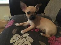 2 male Chihuahua puppies