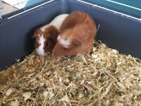 2 baby boys guinea pigs £15 each or pair for £25