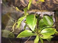 Free young Indian Stick insects various sizes available (Carausius morosus)