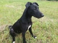 Lurcher female 4 months old, Collie Whippet ,Staffy cross.