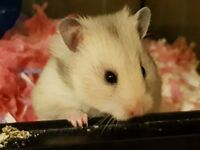 Syrian Female Hamster