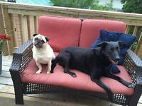 Looking for a home for a pug and a lab mix