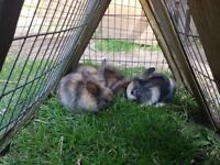 Rabbits for sale - £15 each
