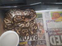 Ball pythons & rack