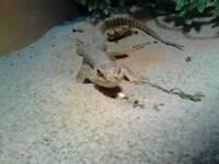 Desert lizard 5ft full set up