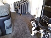 10 month old male Lhasa Also microchipped, neutered,all jags up to date.Kc registered