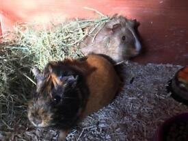 2 Young female guinea pigs (sisters)