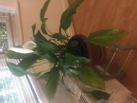 Peace lilly pot