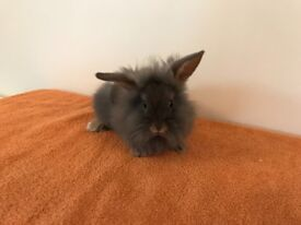 Lionhead buck, 10 weeks old, ready now for his new loving home