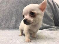 Stunning Chihuahua Puppies