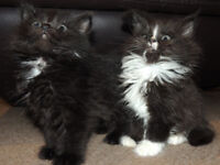 Lovely Siberian x kittens