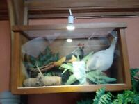 Taxidermy pheasants in glass case