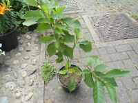Plants for sale-A pot (16 cm) of two cherry trees