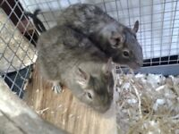 8.5-9 month old female blue degus x 2 , with loads of extras,no cage