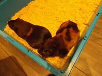 Pair of cute female Guinea pigs with food and cage