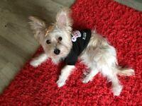 Puppy yorkie+maltese