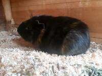 2 bonded guinea pigs