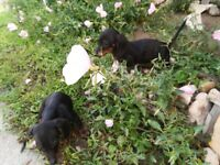 2 dachshund female puppies - had all jabs - both have Hungarian passport. Entire for more info