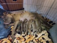 XL BULLY MIX - 7 pups left
