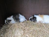 2 female baby guinea pigs with free indoor cage £25 ono
