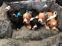 Adorable Cockapoo puppies for sale